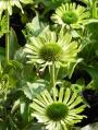 Echinacea-purpurea-Green-Jewel