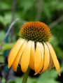 Echinacea-purpurea-Harvest-Moon