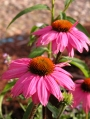 Echinacea-purpurea-Kim's-Knee-Hight