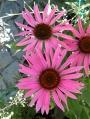 Echinacea-purpurea-Maxima