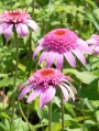 Echinacea-purpurea-Pink-Double-Delight