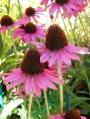 Echinacea-purpurea-Pixie-Meadow