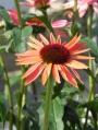 Echinacea-purpurea-Sundown