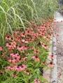 Echinacea-purpurea-Tomato-Soup
