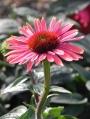 Echinacea-purpurea-Twilight