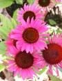 Echinacea-purpurea-Vintage-Wine