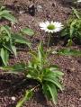 Echinacea-purpurea-Virgin