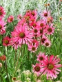 Echinacea-tennessiensis-Rocky-Top