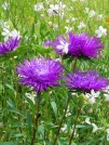 Callistephus-chinensis-varieta-blu