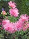 Callistephus-chinensis-varieta-rosa