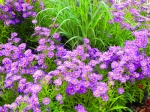 Aster-n-b-Coombe-Rosemary