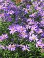 Aster-dumosum-Blue-Bouquet