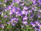Aster-ericoides-Blue-Wonder