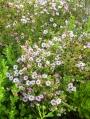 Aster-ericoides-Kilie