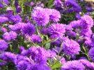 Aster-Notte-d'autunno