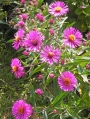 Aster-novae-angliae-Andeken-and-Paul-Gerber