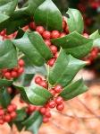 Ilex-aquifolium-inverno