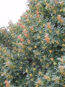 Pistacia-lentiscus-in-fiore