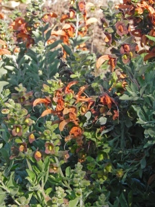 Salvia-africana-lutea-(aurea)