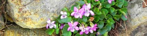 cropped-viola-rupestris-rosea-per-testata.jpg