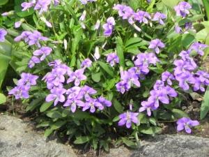 Viola-pedatifida