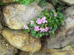 Viola-rupestris-Rosea