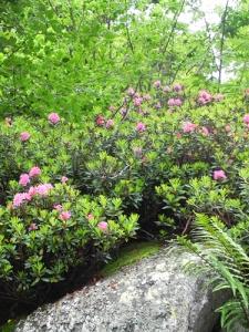 Rhododendron-ferrugineum