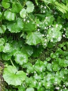 Saxifraga-rotundifolia