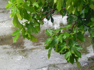 fico-sotto-la-pioggia