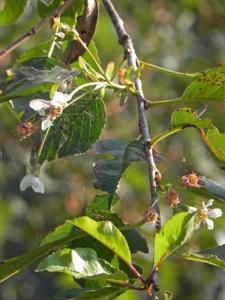 amareno-fiorito-in-settembre