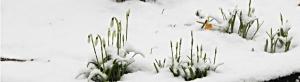 Galanthus-nivalis-per-testata
