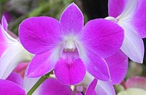 Dendrobium-digibbum