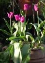 tulipani-Attila
