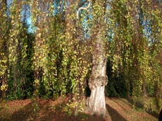 Betula-a-Scheffield-Park