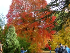 Prunus-Sheffield-Park