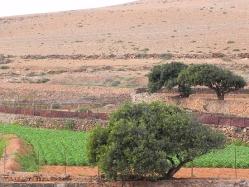 campo-di-patate-a-Fuerteventura