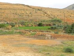 campo-di-patate-e-asino-presso-Ajuy