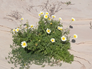 Chrysanthemum-coronarius