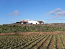 coltivazione-di-aloe-presso-La-Oliva