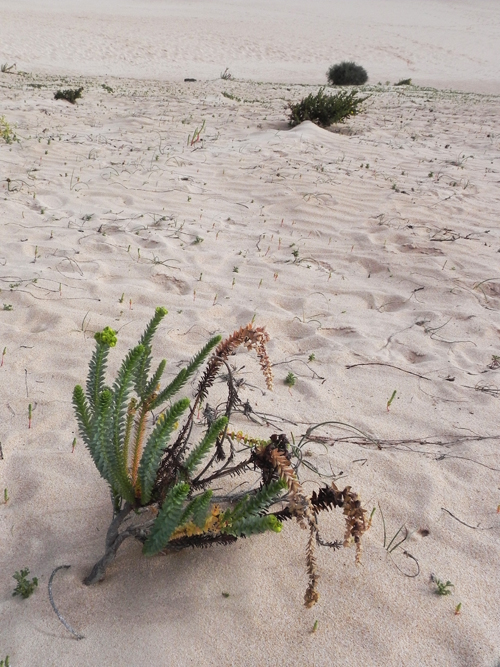 Euphorbia-nella-sabbia-delle-dune-di-Corralejo