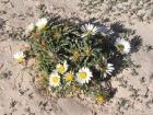 fiori-delle-dune-1