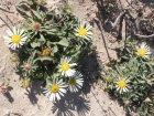fiori-delle-dune-3