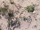 fiori-delle-dune-8