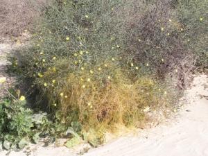 Launaea-arborescens-e-Cuscuta aproximata