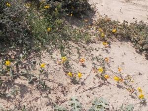 Lotus-lancerottensis
