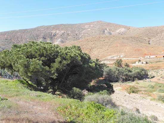 Pinus-nella-Vega-di-Rio-Palma