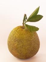 arancia Ovale Calabrese