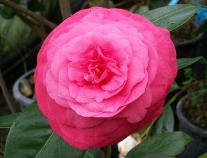 Camellia-'Pia-Pera'