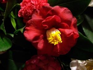 Camellia 'Villa Reale di Marlia'
