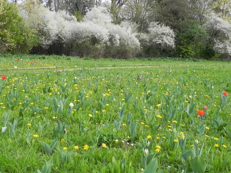 prato-con-primi-tulipani-fioriti